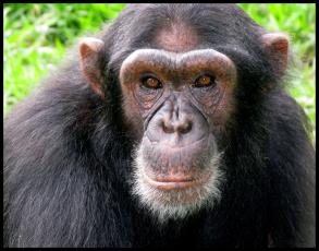 rescued chimpanzee, uwec