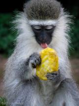 Vervet monkey licking mango