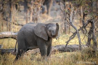 baby elephant, moremi wildlife