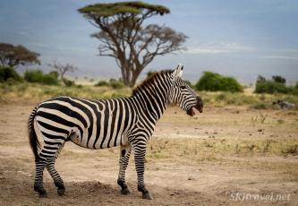 zebra, african wildlife