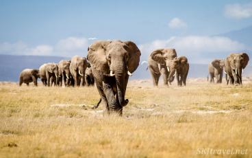 amboseli, elephant herd