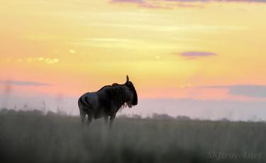 wildebeest, africa sunset
