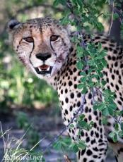 cheetah eating, nxai pan cheetah