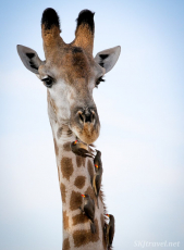 oxpeckers cleaning giraffe