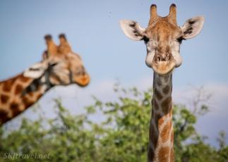 giraffe head, central kalahari
