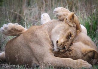 lion siblings, nxai pan