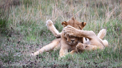 lion siblings, lions playing, nxai pan