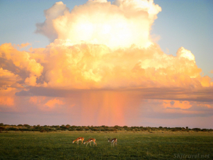 springbok, central kalahari reserve wildlife