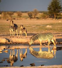 nxai pan, zebra reflection