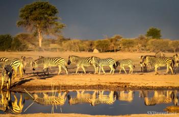 zebra herd, reflection, dawn, african sunrise