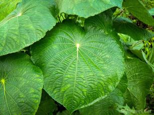 CR_2_leaf2