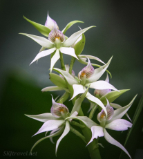 CR_2_orchid4