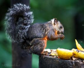 CR_2_squirrelbrown