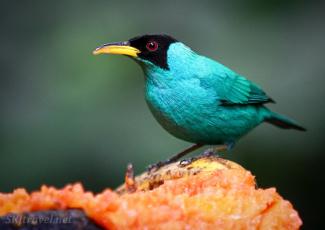 CR_birds_bird green honeycreeper