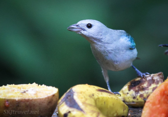 CR_birds_birdLightblue