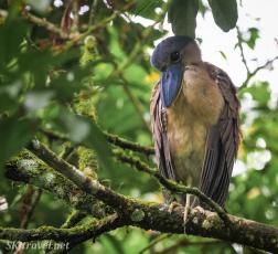 CR_birds_bogarinheron