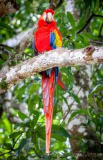 CR_birds_macaw2