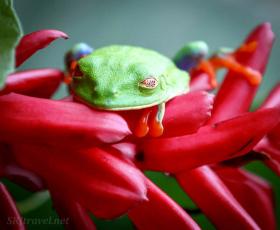 CR_birds_red eyedl eaf Frog02