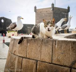 Cat_essouira03