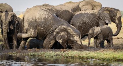 chobe elephants, elephants in mud