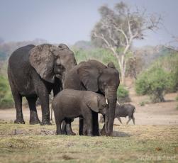 chobe elephants, elephant family