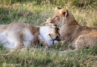 khwai, lion family, sleeping lion