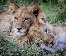 khwai, lion cubs