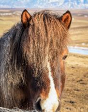 Horseear
