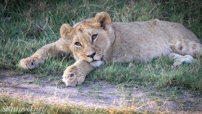 lion cub, khwai