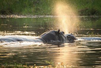 khwai, hippo water