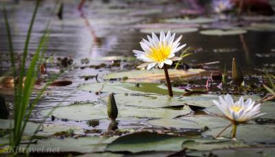 water lily, khwai