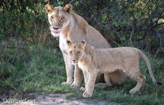Khwai_lions_01