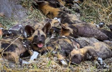 african wild dog puppy, painted dog puppy