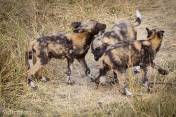 khwai, african wild dog puppy, painted dog puppy