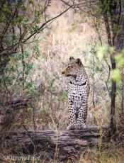 leopard paw, khwai