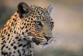 leopardess, savuti