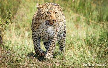 leopardess, masai mara