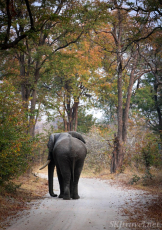 moremi, elephant walking