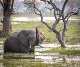 moremi, elephants water