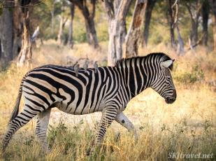 zebra, oxpeckers, moremi