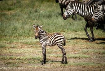 Ndutu_zebrababy_fb