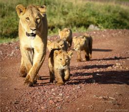 NgorongoroLions