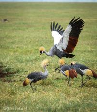 Ngorongoro_crownedcrane1