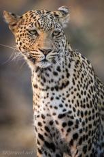 leopardess, female leopard, savuti