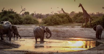 waterhole, reflection, savuti, elephant drinking