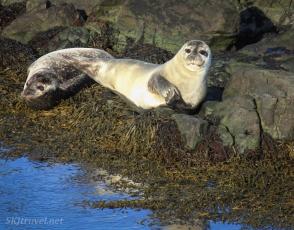 Sealflippers
