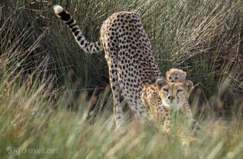 cheetah_baby01_Ndutu
