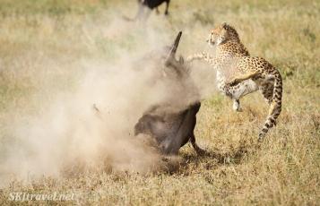 cheetah_kill09s32_Ndutu