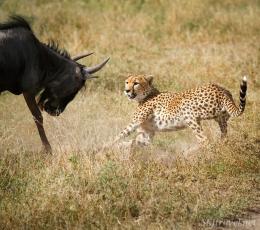 cheetah_kill11s33_Ndutu