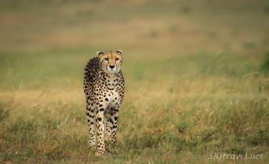 cheetah, masai mara, african savanna